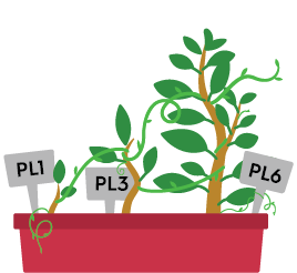 three plants of increasing size labelled PL1 PL3 PL6 in a single pot with tendrils reaching upwards connecting each plant